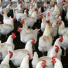 Poultry dying from Bird Flu